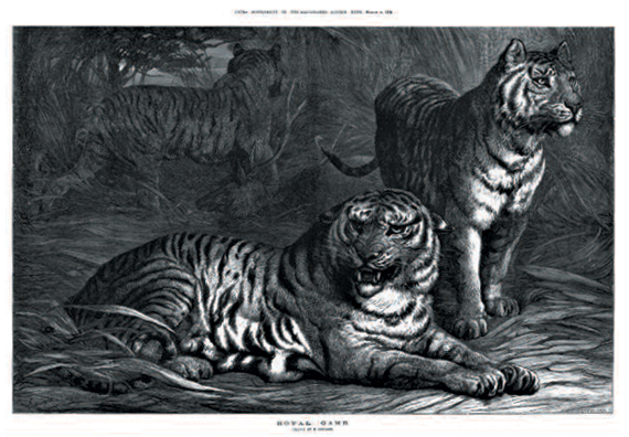 Tigers in The Illustrated London News on TheGenealogist